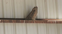 Great Horned Owl perched in a barn Stock Footage
