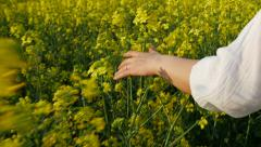 Girl touching with her hand a  Brassica rapa canola field at sunset - stock footage