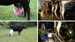 Manual and automatic cow milking in farm. Video collage Stock Footage