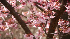 Pink Cherry Blossom Tree in Japanese Botanical Garden -Long Shot 1- Stock Footage