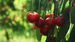Ripe cherries on a tree - stock footage