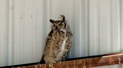 Great Horned Owl pearching in a barn Stock Footage