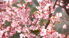 Nightingale Bird on Pink Cherry Blossom Tree in Japanese Garden -Ver 2- Stock Footage
