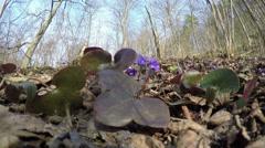 Springtime liverworts (Hepatica nobilis) flowers. 4K Stock Footage
