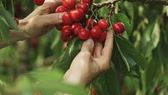 Quality control on a branch full of ripe cherries Stock Footage