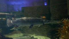 Alligator gar, Atractosteus spatula, in zoo aquarium, side view Stock Footage