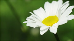 Daisy, White Flower, Petals, Yellow Stamens, Pistil Stock Footage