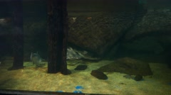 Humpback salmon fish in aquarium, swim out, approaching camera Stock Footage