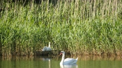 Parents and swan nestling in nest at the pond Stock Footage