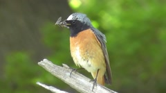 Close-up of a male Redstart perched on a branch with flies in its bill Stock Footage