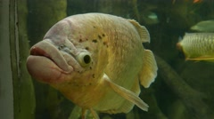 Big old fish with big lips looks black eyes, zoo aquarium Stock Footage
