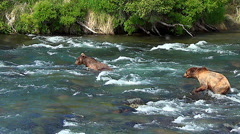Wide Shot of Two BearsFishing - One Dives Off Rock After a Salmon Stock Footage