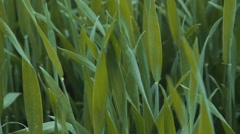 Wheat swaying in the wind Stock Footage