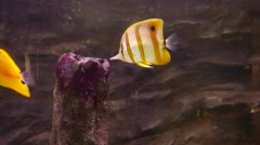 Copperband butterflyfish sniff touch the stub, close up view Stock Footage