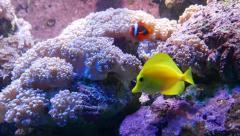 Zebrasoma flavescens float between purple anemones, Cinnamon clownfish Stock Footage