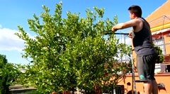 Man pruning a lemon tree (4K) Stock Footage