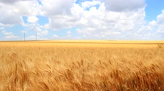 Ripe wheat field, blue sky, white clouds (4K) - stock footage