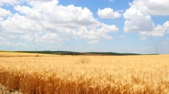 Ripe wheat field, blue sky, white clouds (4K) Stock Footage