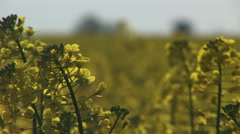 Close up of crop rapeseed growing in England Countryside - stock footage
