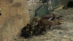 Wild duck and ducklings 2 Stock Footage