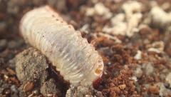 Bark beetle larva 15 Stock Footage