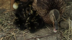 Wild duck and ducklings 7 Stock Footage