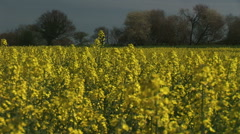 Field of yellow rape in English Countryside Stock Footage