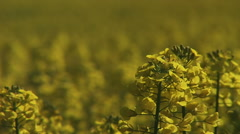 Close up of rapeseed field and palants in vibrent yellow Stock Footage