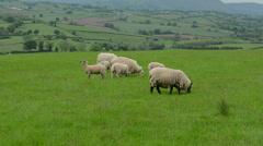 Sheep Grazing in Field #3 - stock footage