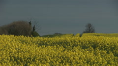 Countryside in England with camera pulling out of rapeseed field - stock footage