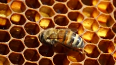 Bees on honeycomb converting nectar into honey Stock Footage