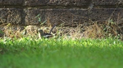 Oriental magpie-robin seeking food Stock Footage