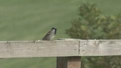 House Sparrow on fence. - stock footage