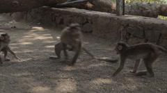 Indians animals – monkey on the ground Stock Footage