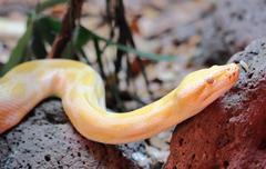 Golden Thai Python (Python bivittatus) snake Stock Photos