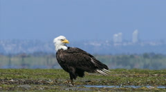 Majestic Bald Eagle Examining The Surroundings Stock Footage