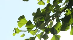 Ginkgo biloba, Asian medicinal tree with leaves Stock Footage