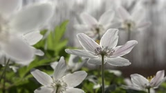 Wood anemones in early morning forest Stock Footage