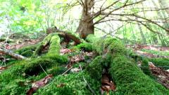 Mossy roots of giant tree growing in deep evergreen highland forest Stock Footage
