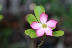 Close up Pink Desert rose breeze Stock Photos