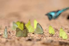 Group of Yellow butterflies are eaten mineral on the ground, Select focus. Stock Photos
