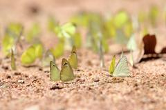 Stock Photo of Group of Yellow butterflies are eaten mineral on the ground, Select focus.