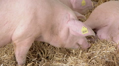 Pigs Feeding on Animal Farm Stock Footage