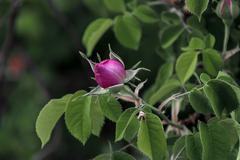 Twig of beauty rose-bush with fragrant bud - stock photo