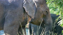 Closeup view of asian elephant eating, Thailand. Stock Footage