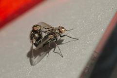 Flies mating on a shiny surface - stock photo