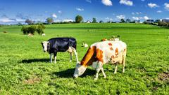 Green field with grazing cows Stock Footage