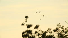 Crows fly Stock Footage