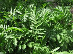 Tansy, Tanacetum vulgare - stock photo