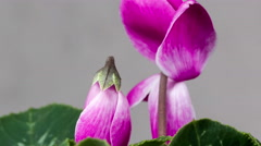 Blossoming cyclamen flower on a gray background Stock Footage